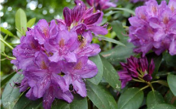 Rhododendron 'Purpureum Elegans'Rhododendron -