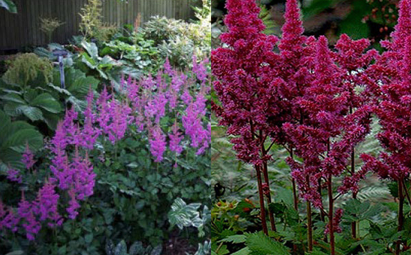 Astilbe 'Visions'Meadow Sweet - Mature size: 1-2' W x 1-1.5' HNotes: Ferny foliage emerges bronze, maturing to green; compact, mounded habit; feathery, raspberry-pink flower plumes in summer