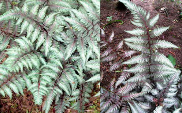 Athyrium niponicum 'Regal Red'Japanese Painted Fern - Mature size: 1-1.5' W x 1.5-2' HNotes: Deciduous fern with weeping habit; silver edges with a dark violet-red interior