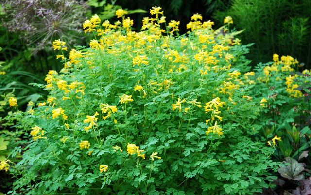 Corydalis luteaCorydalis - Mature size: 1-1.5' W x 1-1.5' HNotes: Woodland perennial with ferny green foliage; bright yellow flowers from late spring to early fall