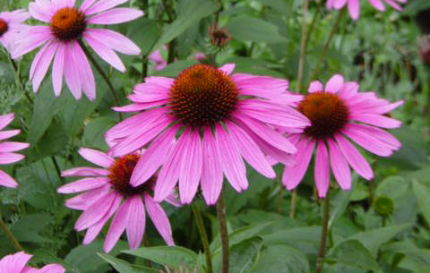Echinacea (Compact variety)Coneflower - Mature size: 1.5-2' W x 1.5-2' HNotes: Large daisy-like flowers with drooping petals and coppery central cones; varieties in shadesranging from purple to coral to white; long summer bloom period