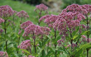 Eupatorium 'Little Joe'Dwarf Joe Pye Weed - Mature size: 2-3' W x 3-4' HNotes: Mauve purple, flat-topped flowers in late summer; compact variety; attractive to butterflies