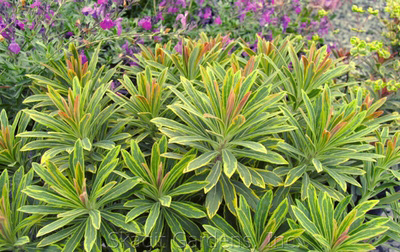 Euphorbia 'Ascot Rainbow'Spurge - Mature size: 1.5-2' W x 1.5-2' HNotes: Unique, variegated foliage of grayish green leaves with yellow margins; fall tones of red, pink and orange; variegated cream to green flowers in spring