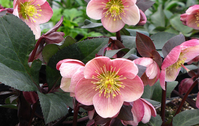 Helleborus 'Pink Frost'Hellebore - Mature size: 1-1.5' W x 1-1.5' HNotes: Long lasting flowers in late winter/early spring; burgundy stems support upward facing flowers in shades of white, pink and deep rose; attractive, leathery, evergreen foliage