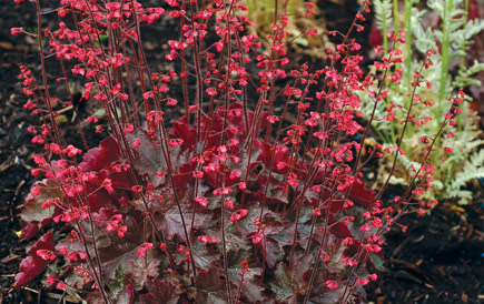 Heuchera 'Cherries Jubilee'Coral Bells - Mature size: 1-1.5' W x 1-2' HNotes: Clump forming perennal; showy burgundy to purple-green leaves; bright pink flowers in midsummer