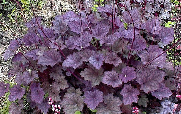 Heuchera 'Frosted Violet'Coral Bells - Mature size: 1-1.5' W x 1-2' HNotes: Violet purple foliage with dark veins and a silvery, frosted appearance; coarse textured, clump forming perennal; delicate, pale pink flowers on wiry stems in summer