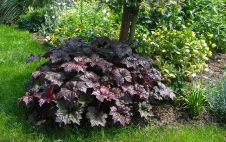 Heuchera 'Palace Purple'Coral Bells - Mature size: 1-1.5' W x 1-2' HNotes: Clump forming perennal; showy burgundy-purple leaves; airy cream colored flowers on tall slender stalks in mid summer