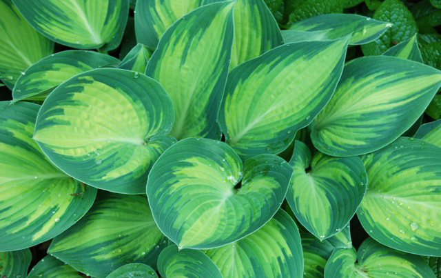 Hosta 'June'Hosta - Mature size: 2-3' W x 2-2.5' HNotes: Large leaved, clump forming perennial; blue green variegated leaves with golden centers;lavender flowers in mid summer