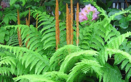 Osmunda cinnamomeaCinnamon fern - Mature size: 2-3' W x 2-3' HNotes: Attractive, airy foliage for shade; tall fronds turn orange in fall