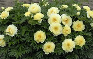 Paeonia x 'Bartzella'Tree Peony - Mature size: 3-5' W x 3-5' HNotes: Hybrid cross between herbaceous and tree peonies; large, dramatic yellow blooms in late spring; attractive fern-like foliage; lemony scent;disease and pest resistant