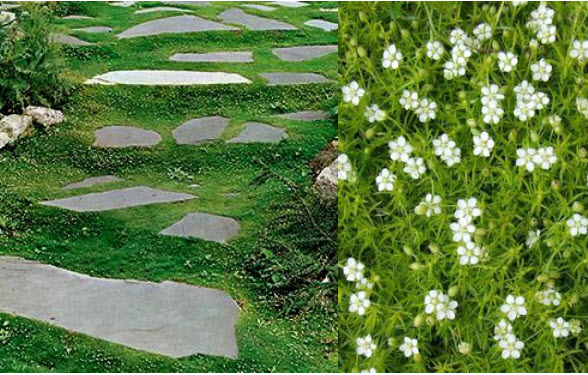 "Sagina subulataIrish Moss - Mature size: 6-12"" W x 1"" HNotes: Low, spreading perennial forms a bright green, moss-like carpet; tiny white flowers in late spring"