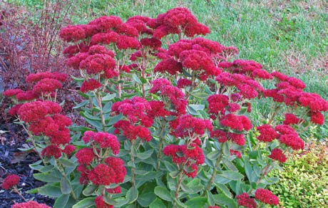 Sedum 'Autumn Fire'Stonecrop - Mature size: 1-2' W x 1-2' HNotes: Waxy, blue-green tinted foliage; mounds of flowers emerge green and change from pink to bright red in late summer/early fall