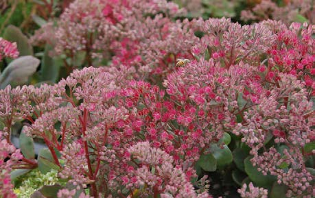 Sedum 'Vera Jameson'Stonecrop - Mature size: 1-2' W x 1-2' HNotes: Blue tinted foliage; pink flowers in late summer/early fall