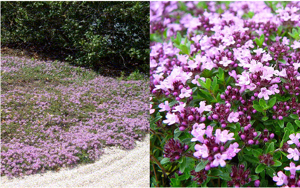"ThymusCreeping Thyme - Mature size: 12"" W x 3"" HNotes: Creeping woody groundcover with tiny leaves; purple-pink flowers in summer; aromatic"