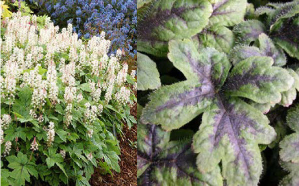 "Tiarella 'Crow Feather'Foam Flower - Mature size: 6-12"" W x 6-12"" HNotes: Airy pinkish-white flowers in late spring;attractive green leaves with black feathering along the centers; leaves turn pink, red, purple and black in autumn"