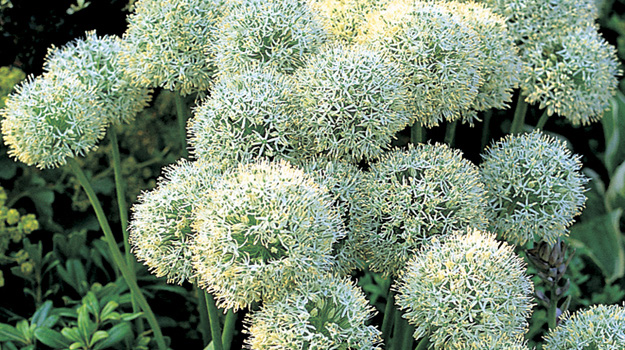 Allium 'Mount Everest'Allium - Mature size: 2.5' HNotes: Globe shaped white flowers atop tall stems; late spring