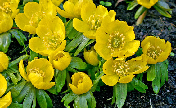 "EranthisWinter Wolf's Bane - Mature size: 3-12"" W x 3"" HNotes: Very early spring blooms, small, brightyellow, cup-shaped flowers on fans of green leaves"