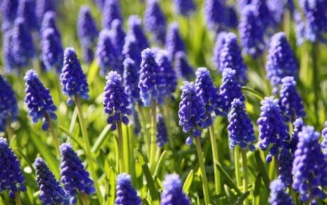 "MuscariGrape Hyacinth - Mature size: 6-9"" HNotes: Tightly packed, grape-like flowers in early spring; bright purple with a thin yellow line at the base of each flower"
