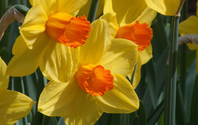 Narcissus 'Brackenhurst'Brackenhurst Daffodil - Mature size: 1-1.5' W x 1-1.5' HNotes: Bright yellow flowers with orange cups