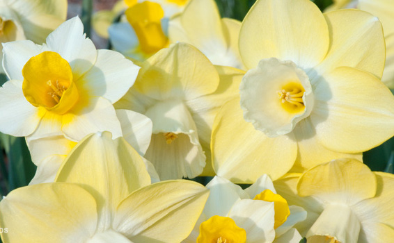 Narcissus 'Funhouse' (Blend)Funhouse Daffodil Mix - Mature size: 1-1.5' W x 1-1.5' HNotes: Blend of soft yellow flowers with cream cups and small frangrant white flowers with gold cups