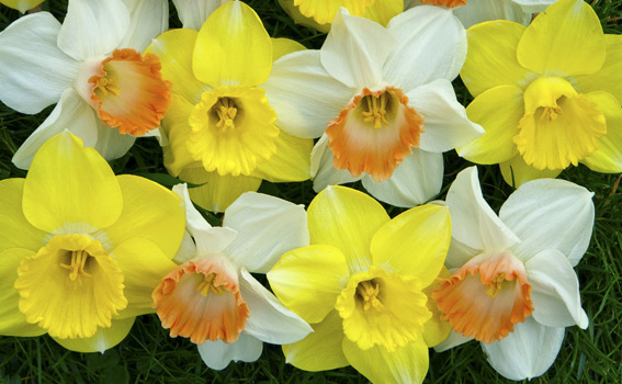 Narcissus 'Pink & Lemon' (mix)Pink and Lemon Daffodil Mix - Mature size: 1-1.5' W x 1-1.5' HNotes: A pair of daffodils that bloom simultaneously; one is white with an apricot cup, the other a cheerful yellow with white accents
