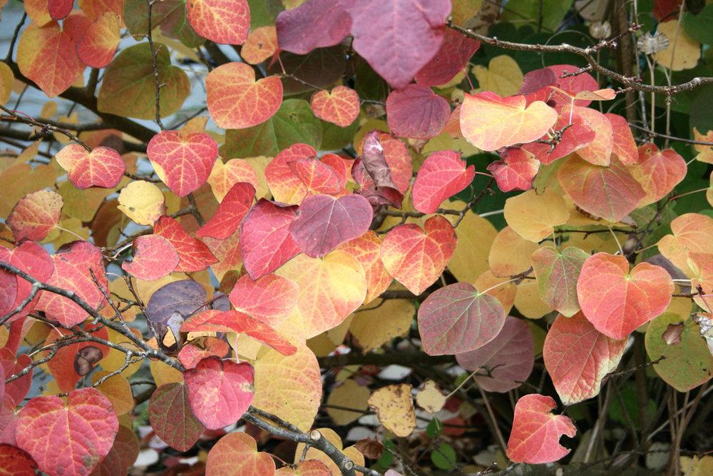 Disanthus cercidifoliusRedbud Hazel -