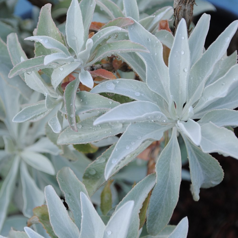 California White Sage, a native.