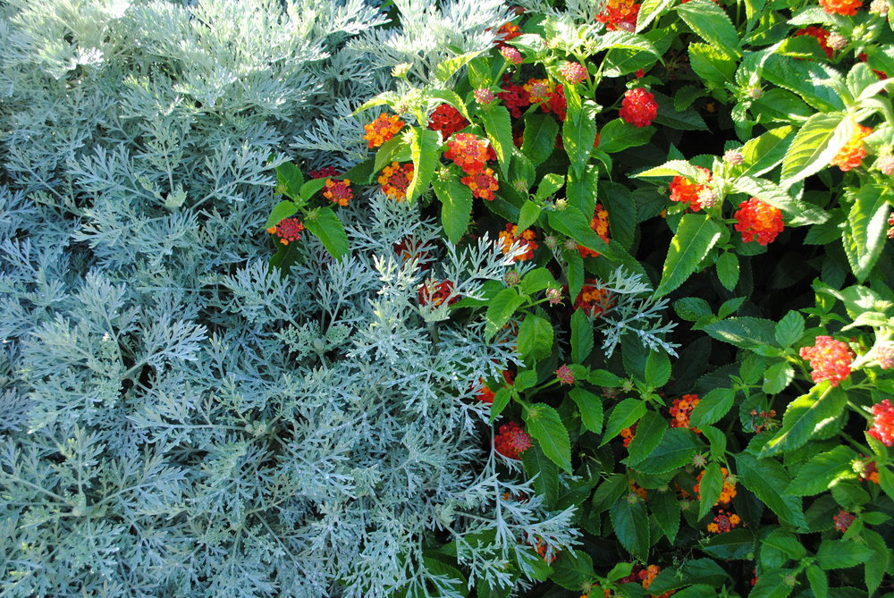 Artemesia  Silver Mound  with Lantana  Firecracker.