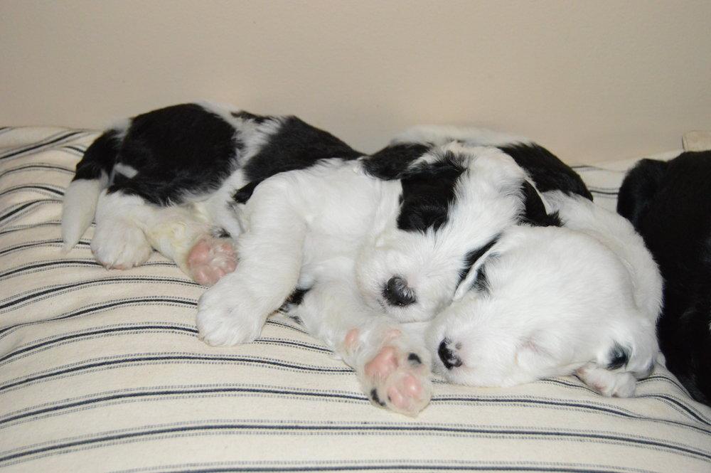 Sheepadoodle-puppy