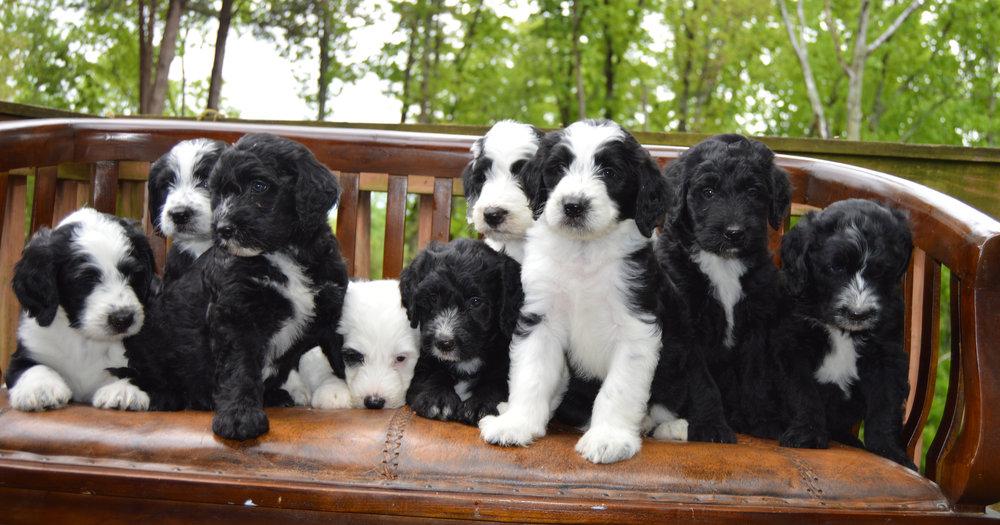 Sheepadoodle-pups