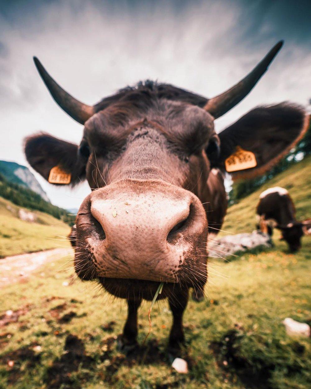 Cow, Berchtesgaden, Germany 2017.