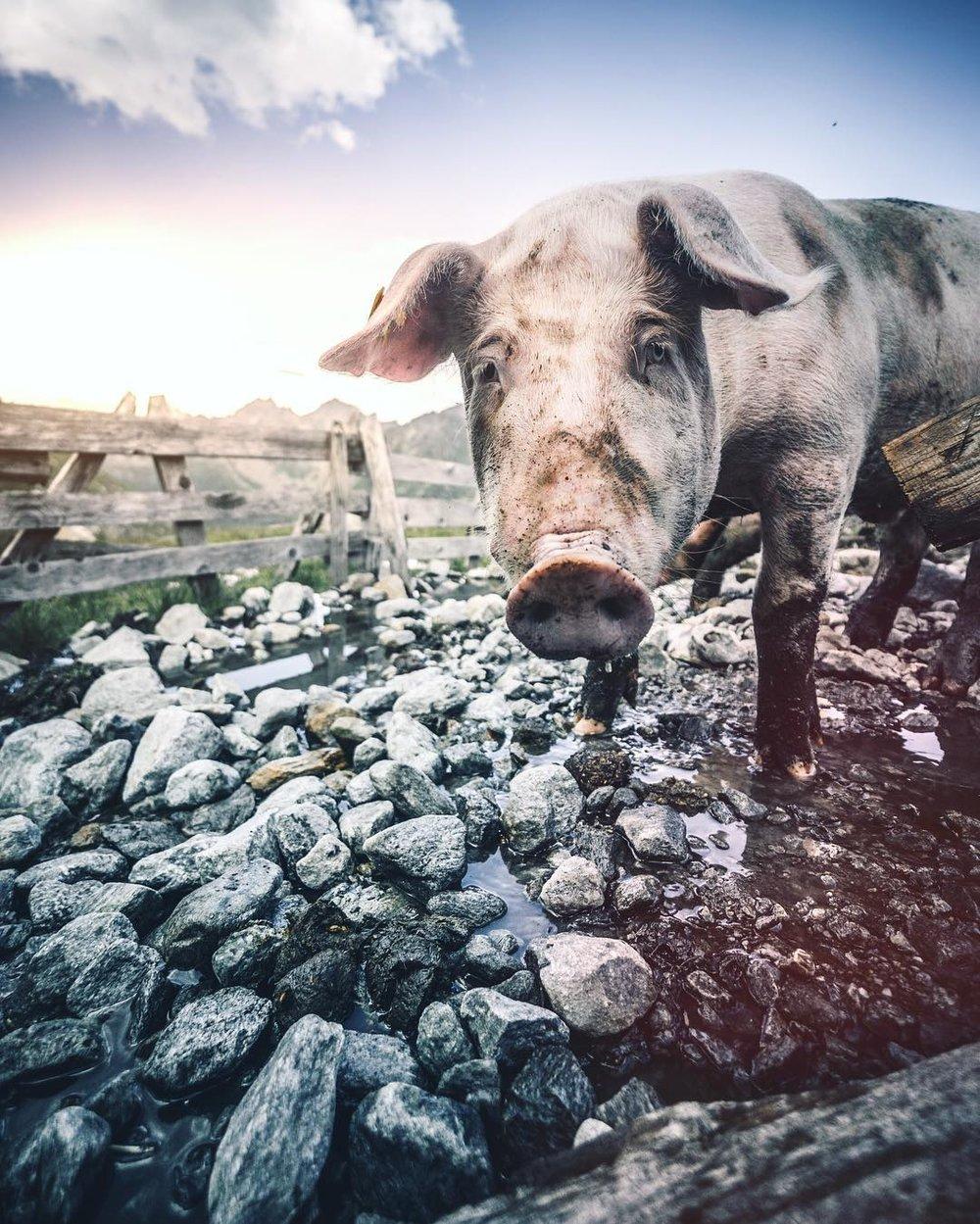 Mountain pig, Austria.