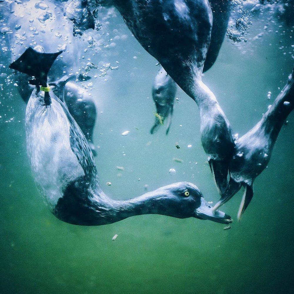 Diving ducks.