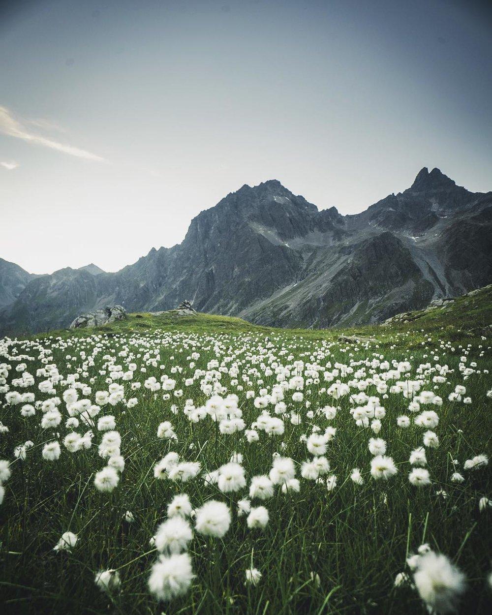 Cotton Grass, Verwall Mountains, Austria.