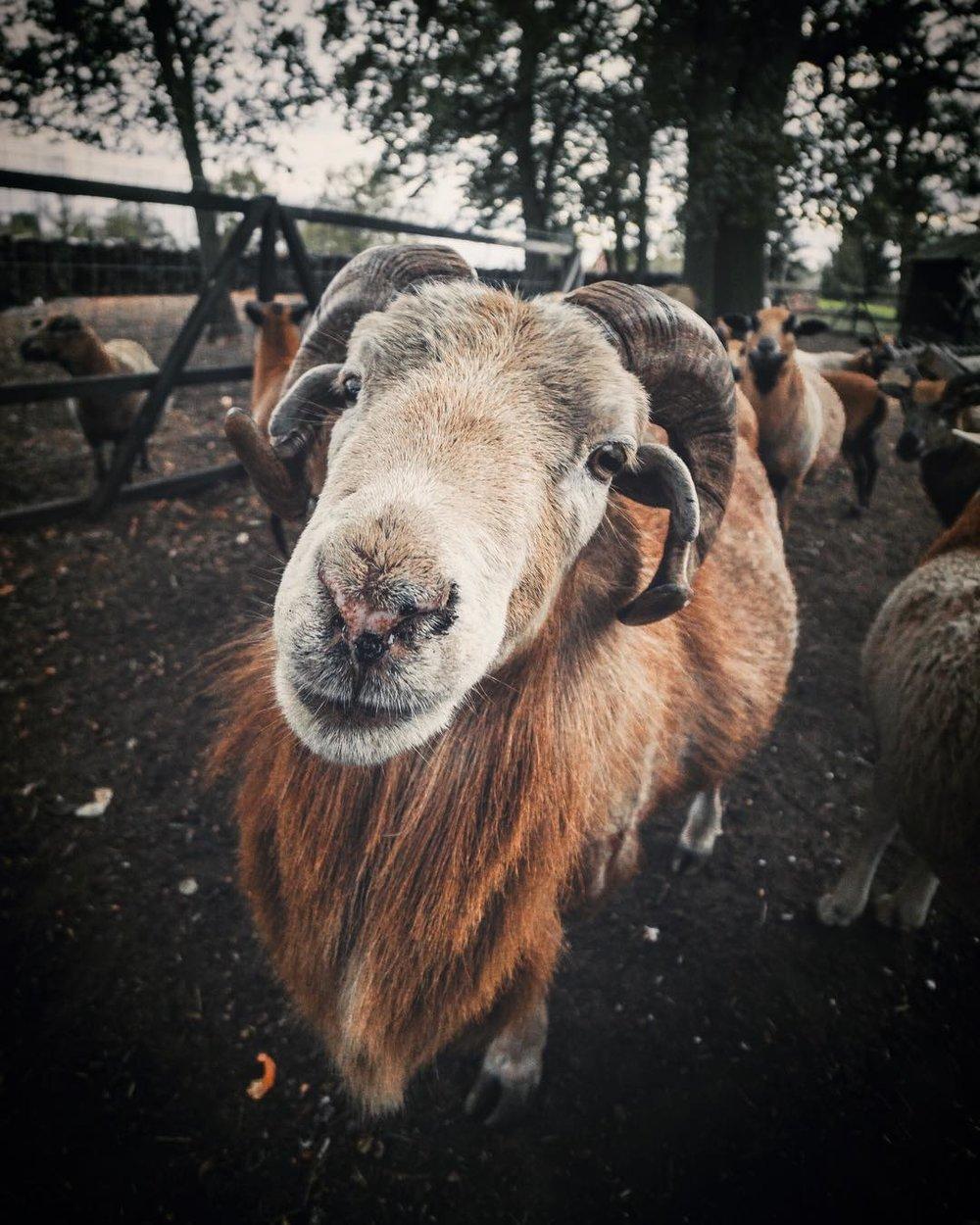 Cameroon sheep.
