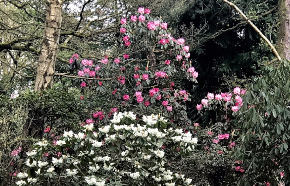 Hollies rhodo pink IMG_8711.jpg