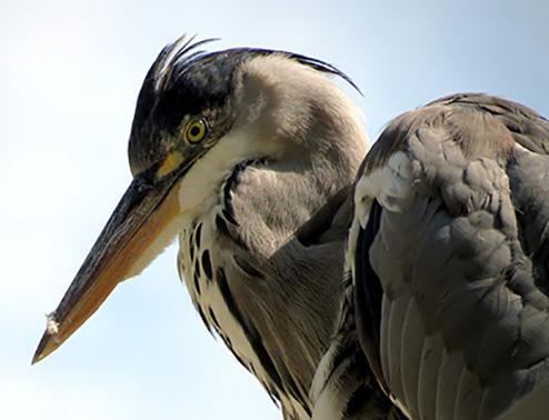 heron close up2.jpg
