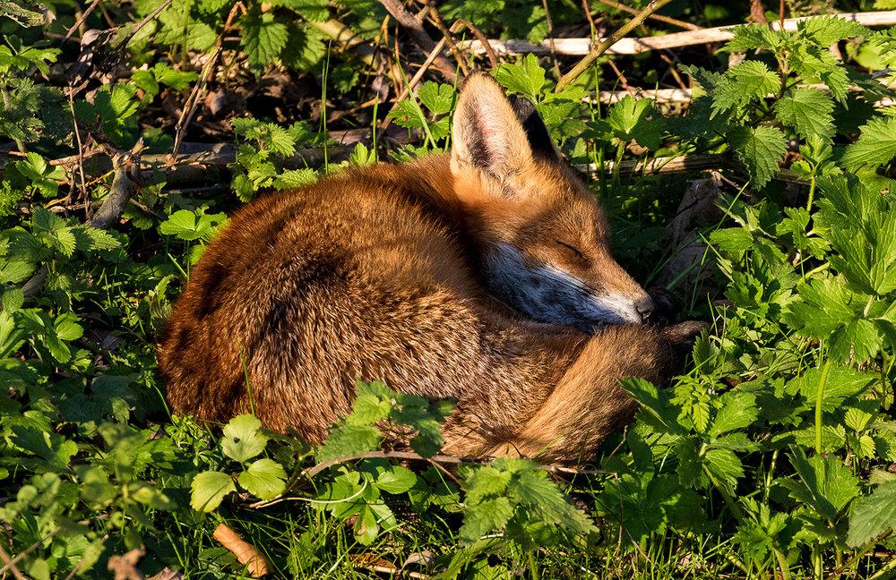 Sleepy_Fox.jpg