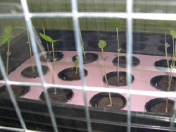 Mung seeds growing hydroponically in the faraday cage under the influence of the electric field.
