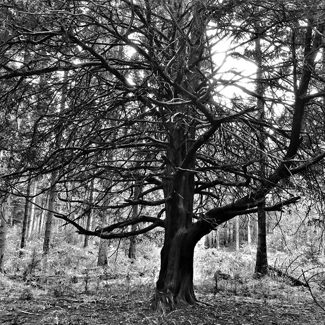 I'm slightly obsessed by trees.⠀ This one is 4k into our normal dog walk.⠀ It's often hard to shoot a tree in a forest.⠀ But this one came out well against the background.⠀ .⠀ .⠀ .⠀ #yew #tree #nature #woodland #authorlife #authorsofinstagram #author #noir_shots #blackandwhite #simple #simplicity #minimalism #minimalist #creativity #iphoneblackandwhitephotography #creativity #noir #iphone #iphonecamera #iphonephotgraphy #smartphone #smartphonephotography