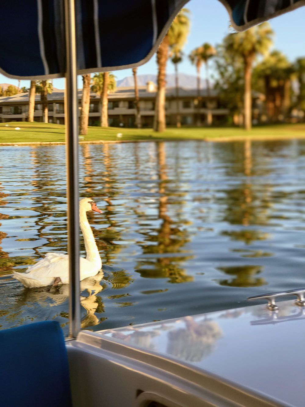 Swans on Boat Charter Ride