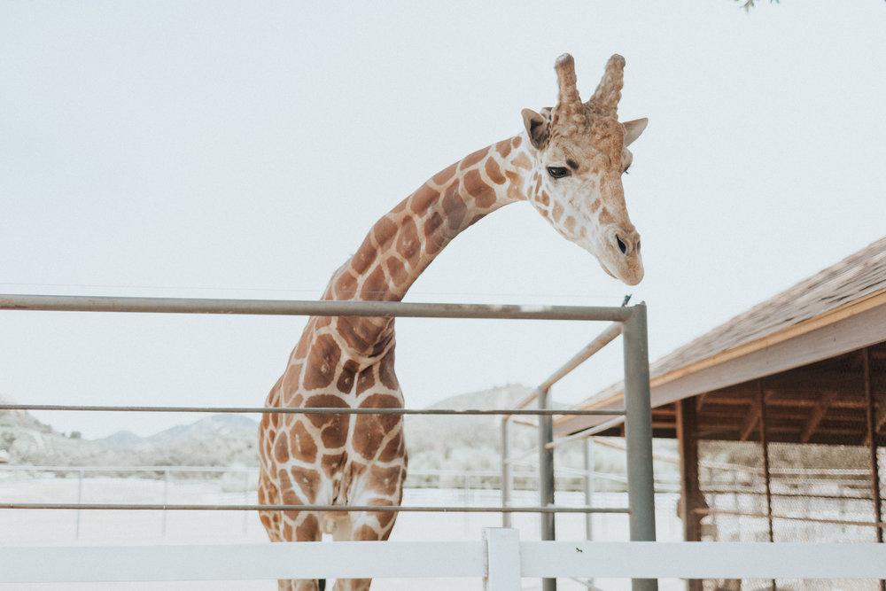 Stanley the Giraffe at Malibu Wines Safari