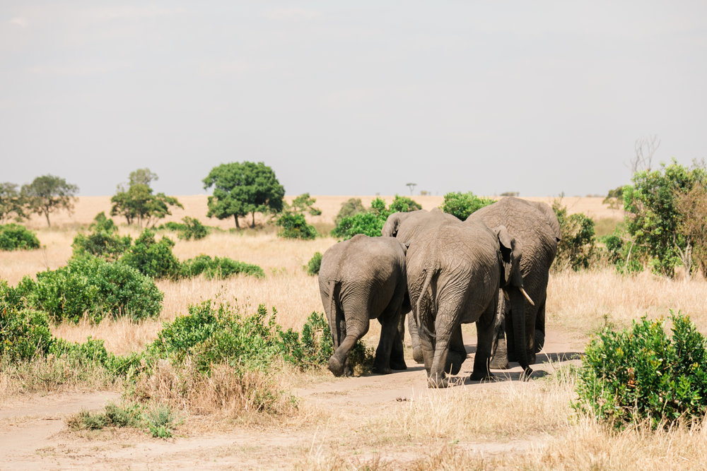 Elephants in Maasia Mara Ph. Valorie Darling