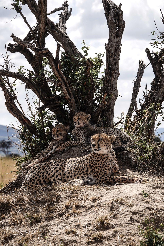 Cheetah + Cubs in Maasai Mara. Kenya Safari with Kin Travel. Ph. Ashley Torres