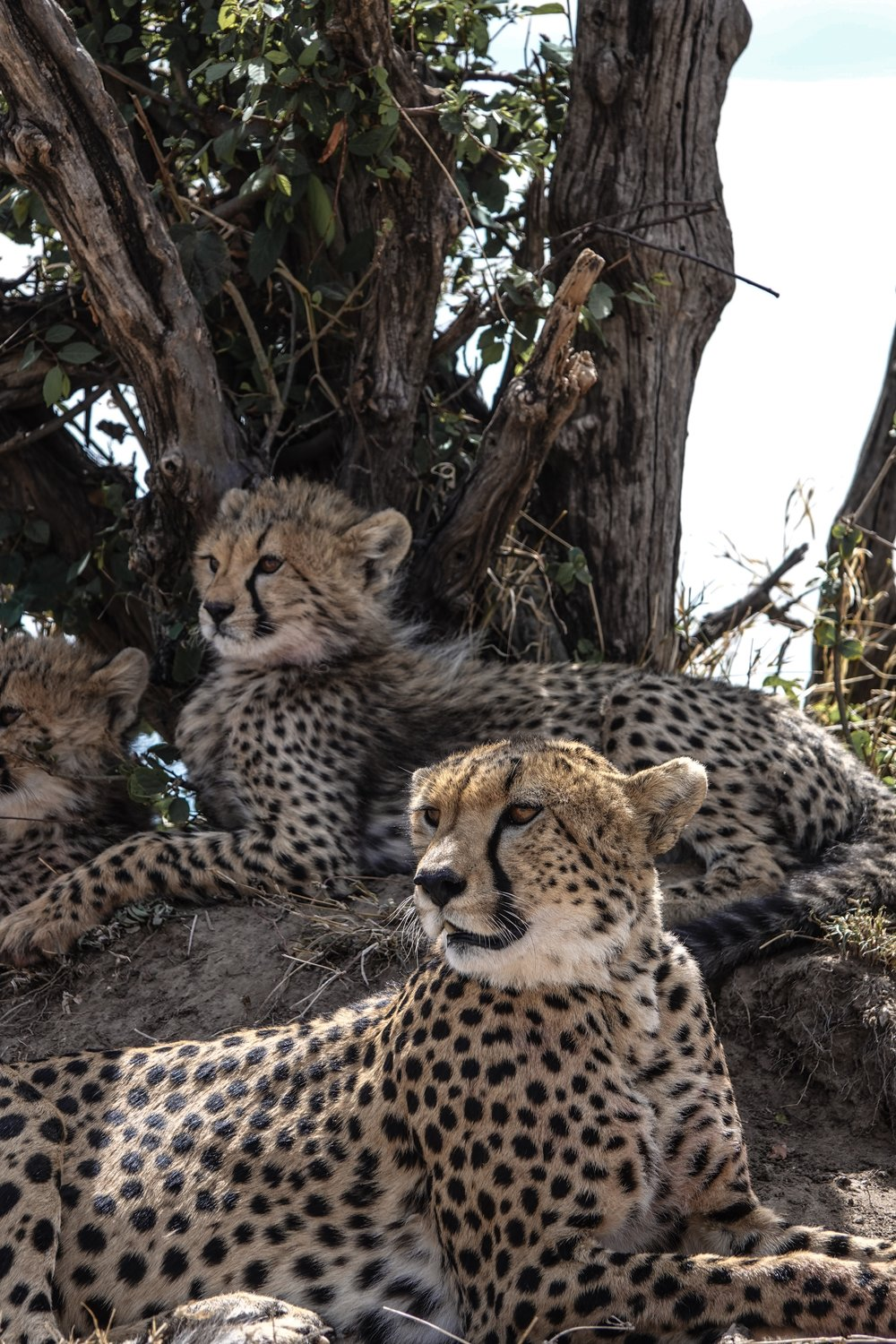 Cheetah + Cubs in Kenya, Africa Ph. Ashley Torres