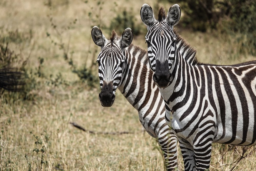 Zebras in Kenya, Africa | Safari Photos Ph. Ashley Torres
