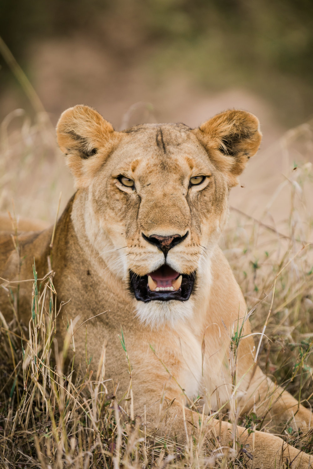 Female lion on Safari Kenya Ph. Valorie Darling