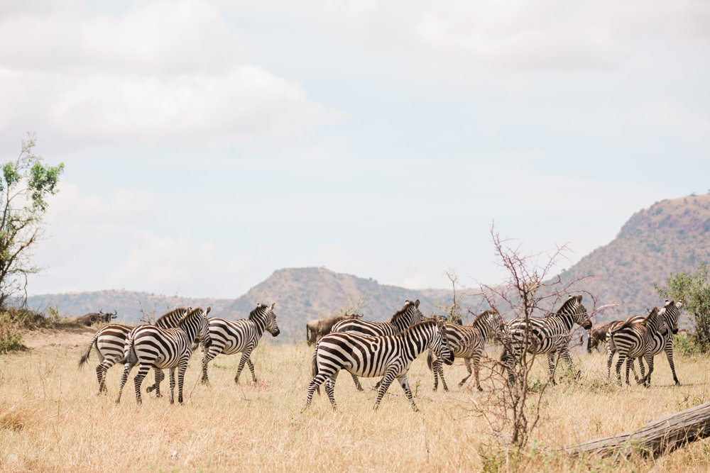 Zebras running on Safari in Kenya Ph. Valorie Darling