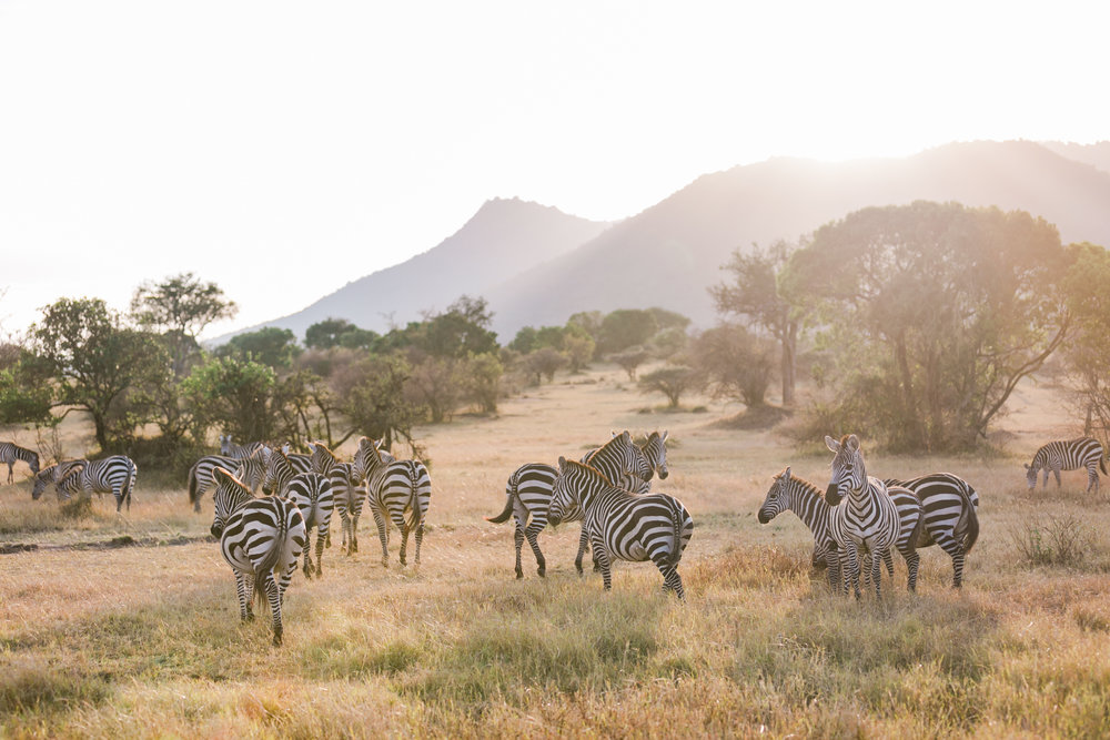 Zebras in Maasai Mara, Kenya Safari Ph. Valorie Darling