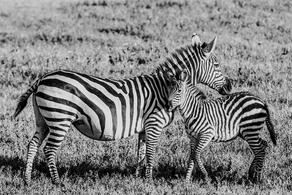 Zebras Maasai Mara Kenya Safar Ph. Valorie Darling